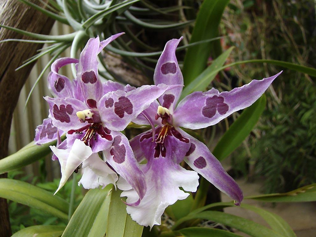 Orquidea: Cattleya Phragmipedium Paphiopedilum … blog de #495F22 1024x768