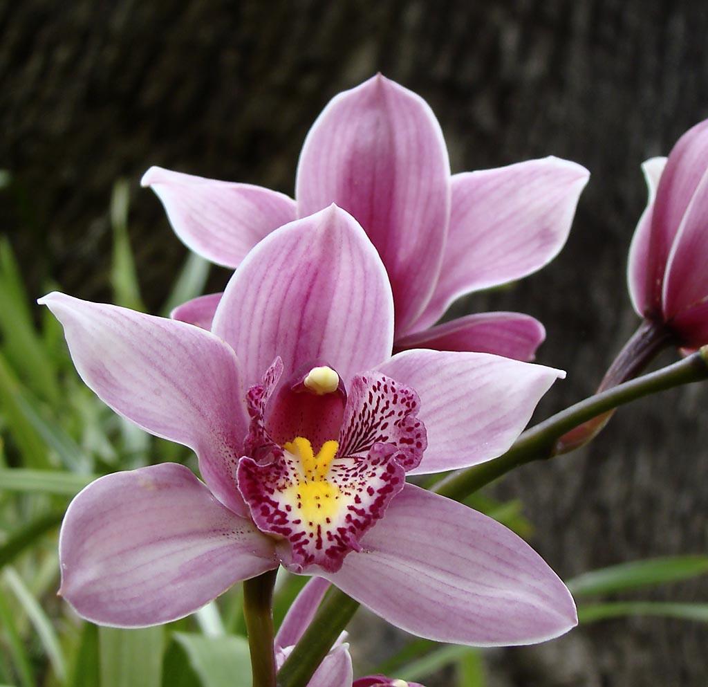 Madeira 4. Jardin botanico de Funchal. Flores orquideas cymbidium  #6D2034 1024x993